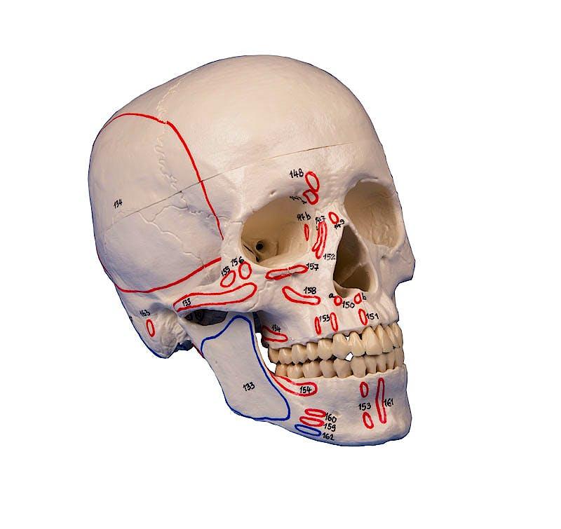 Cráneo con Músculos Pintados, 3 Partes