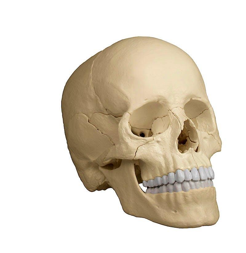 Cráneo Desmontable 22 Piezas para Osteopatía