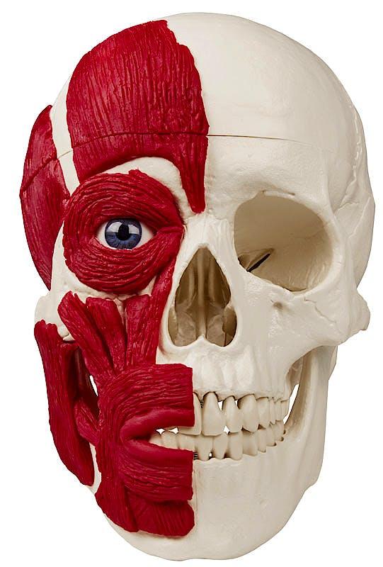 Cráneo con Musculatura