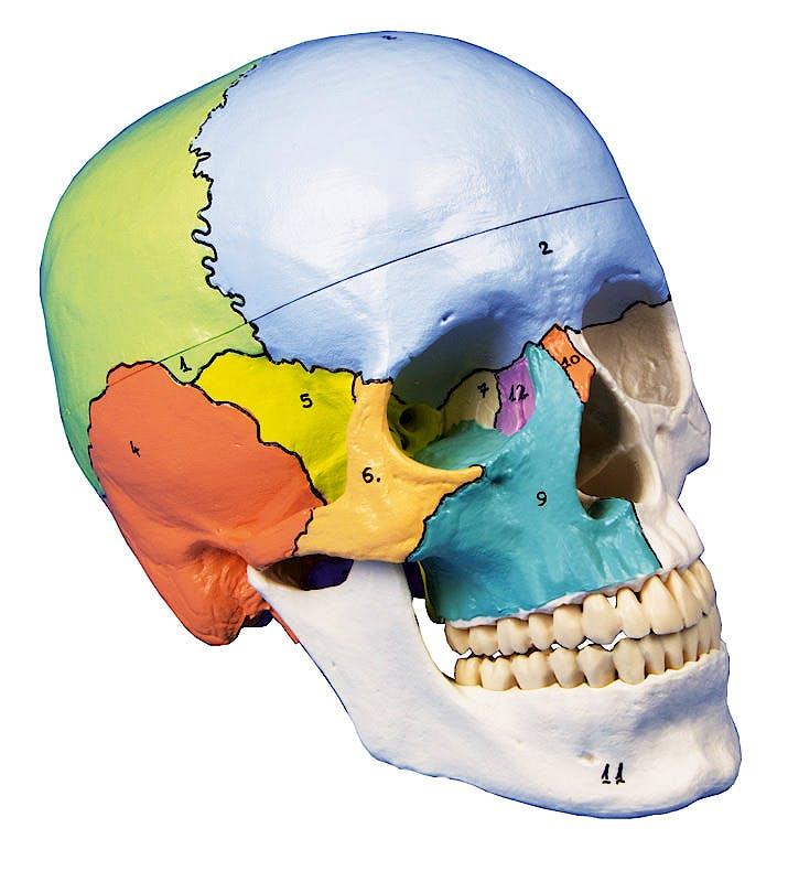 Cráneo 3 Partes, Didáctico Pintado