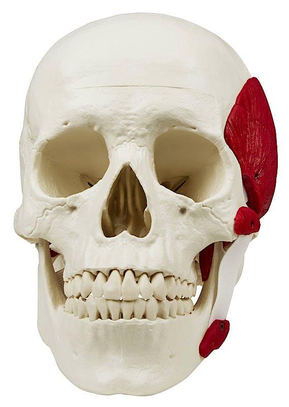 Cráneo con Músculos Masticatorios, 3 Partes