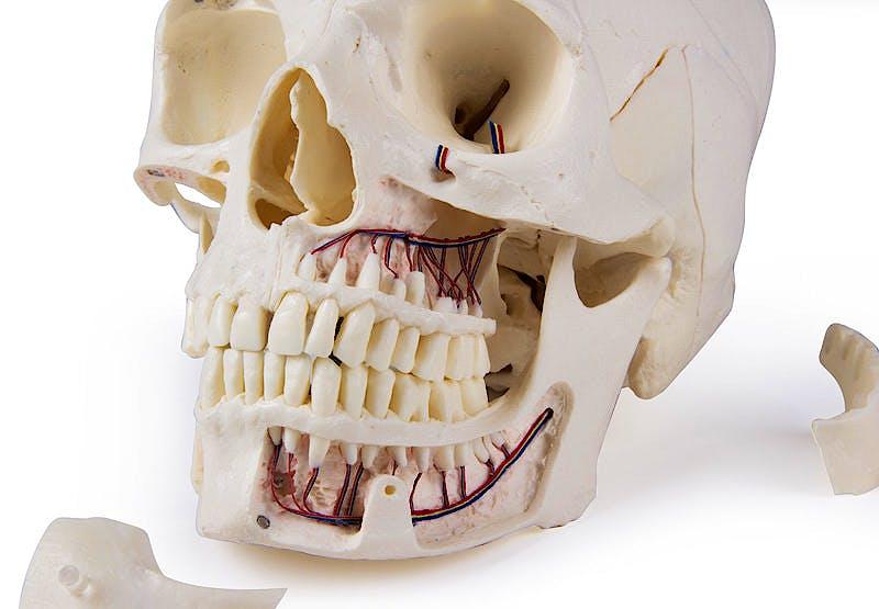 Cráneo de Demostración de Lujo; 14 Partes; para Estudios Avanzados