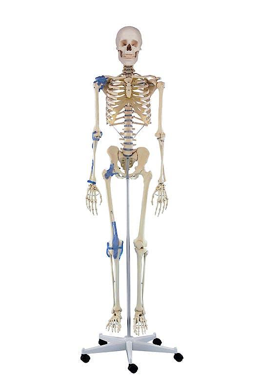 Esqueleto 'Otto' con Ligamentos