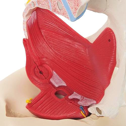 Pelvis Femenina con Ligamentos, Vasos, Nervios, Piso Pelvico y Organos - 6 Partes