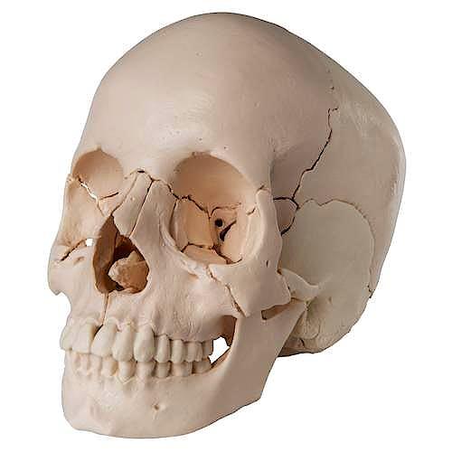 Cráneo Desmontable, 22 Piezas