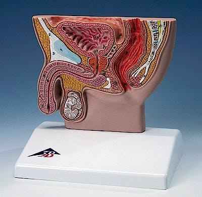 Corte Transversal de Pelvis Masculina