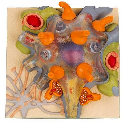 Modelo Magnético - Cuerpo Celular Neuronal