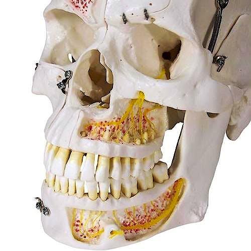 Cráneo de Demostración de Lujo, 10 Partes