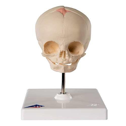 Cráneo Fetal con Soporte